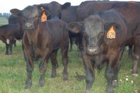 2 steers